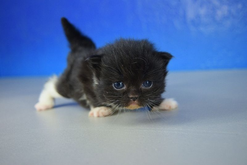 Black Tuxedo Solid Black Mitted Solid Ragdoll Kitten Ragdoll Kitten Munchkin Kitten Ragdoll