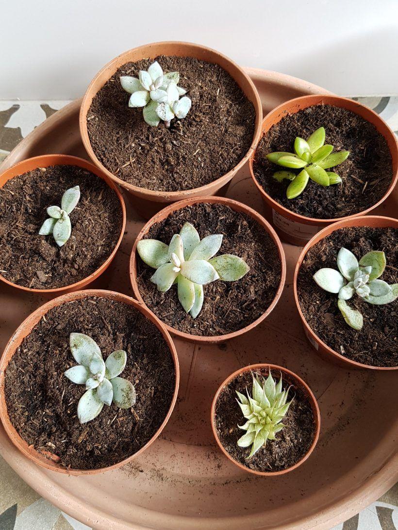 Bouturer Les Succulentes Bouturer Les Plantes Grasses Plantes