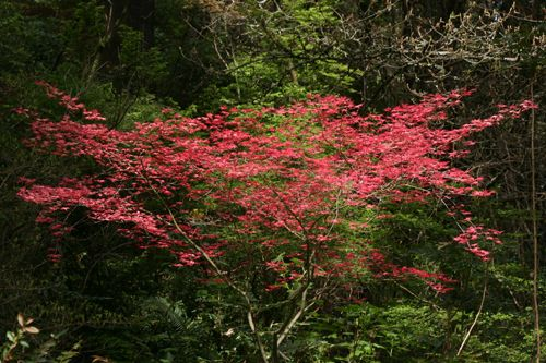 Acer Palmatum Shindeshojo One Of The Few Japanese Maples Grown For