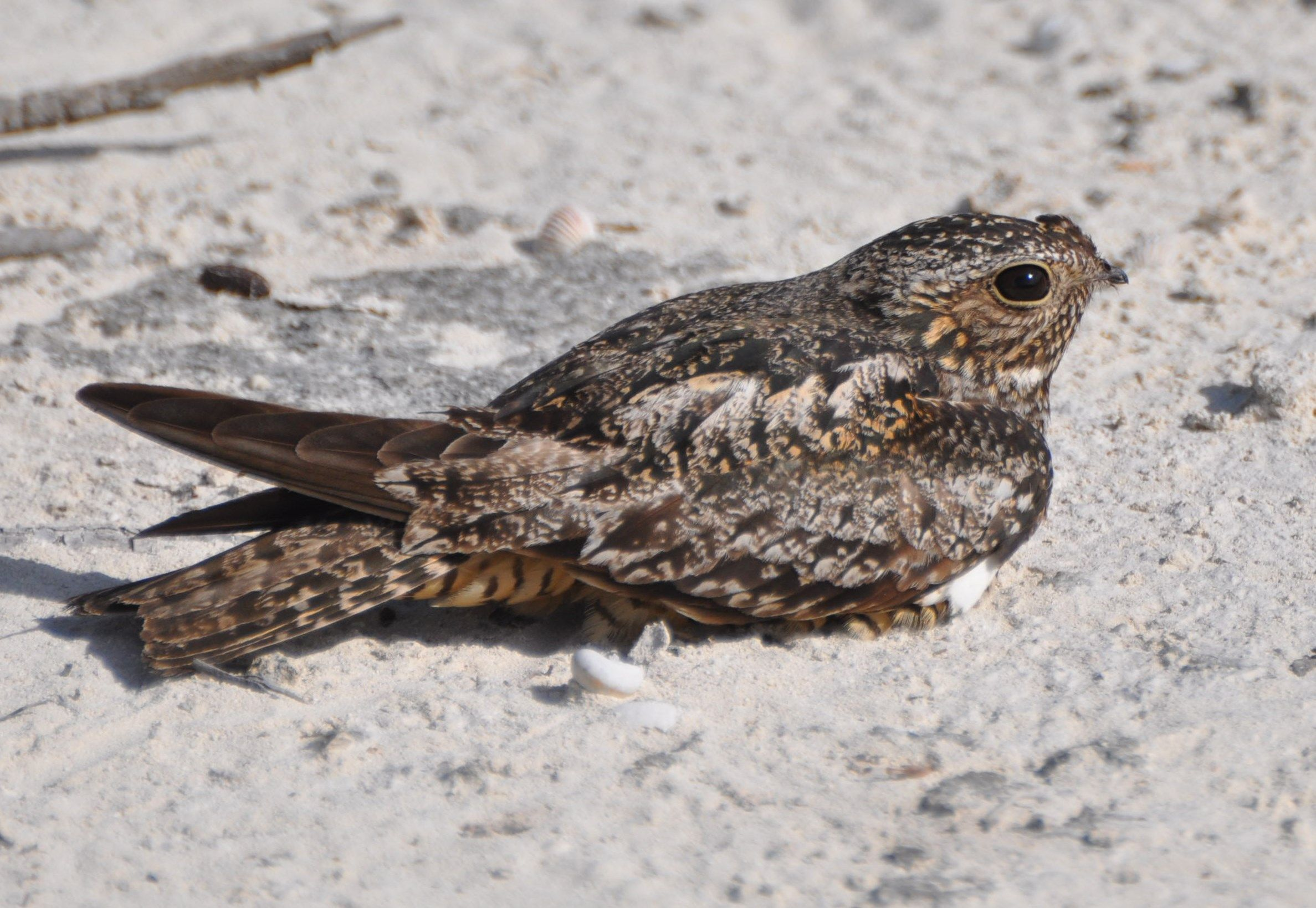 2356. Antillean Nighthawk (Chordeiles gundlachii) | its breeding habitat is open country of the Greater Antilles, the Bahamas and the Florida Keys in the United States