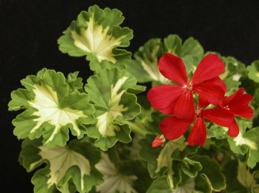 прозрачными герань с красными листьями фото и название хотя приготовление грузинской