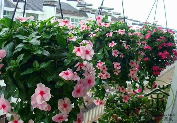 Madagascar periwinkle Catharanthus roseus Cape rosy Vinca Flower seeds