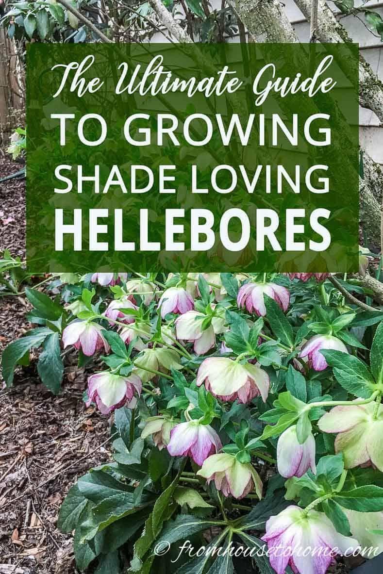 Hellebore Care How To Grow Shade Loving Lenten Rose Gardening