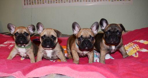 French Bulldog Puppy For Sale In Sacramento Ca Adn 32455 On