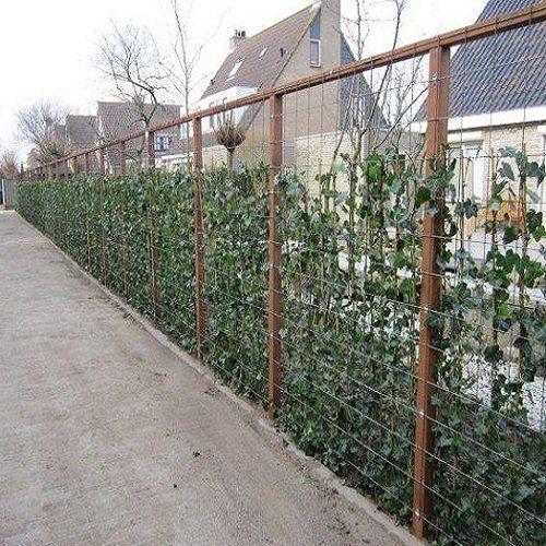 60 Efeu 75 100 Cm Hedera Hibernica Kletterpflanzen 60 Kaufen 50