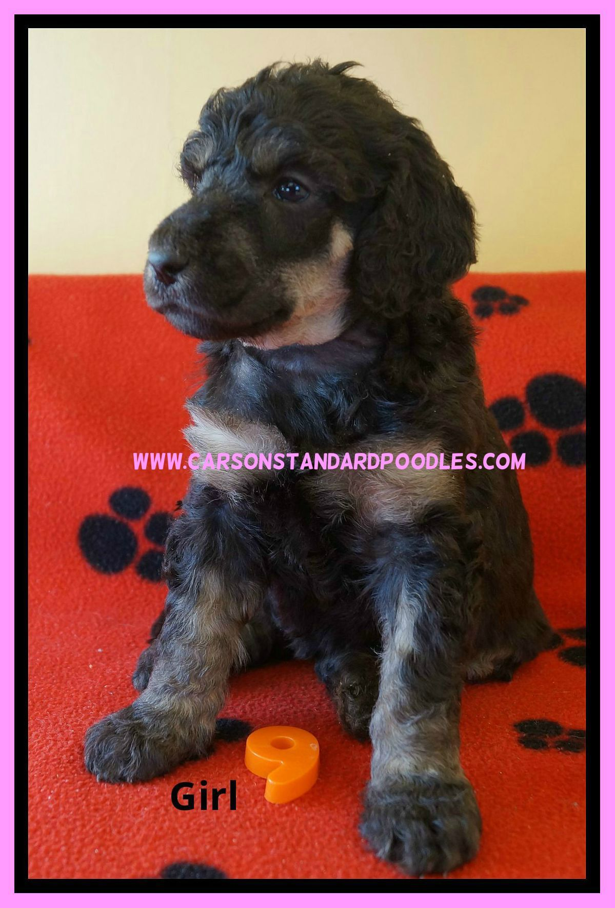 Amazing Litter Of Phantom Marked Canadian Kennel Club Registered