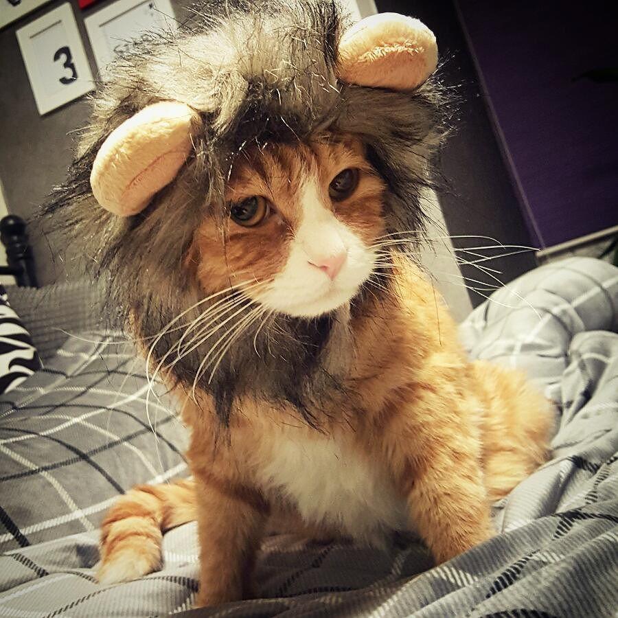 "samstargram.333: ""라이온킹  . . #삼스타그램 #삼광이 #왕중의왕 #라이온킹 #어흥 #사자 #고양이 #캣스타그램 #cat #catstagram #catsofinstagram #cats"""