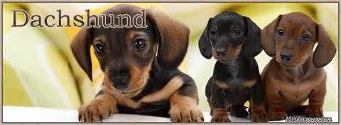 Funny Weiner Dog Photos Sausage Dog Names Dauchsand Weiner Dog