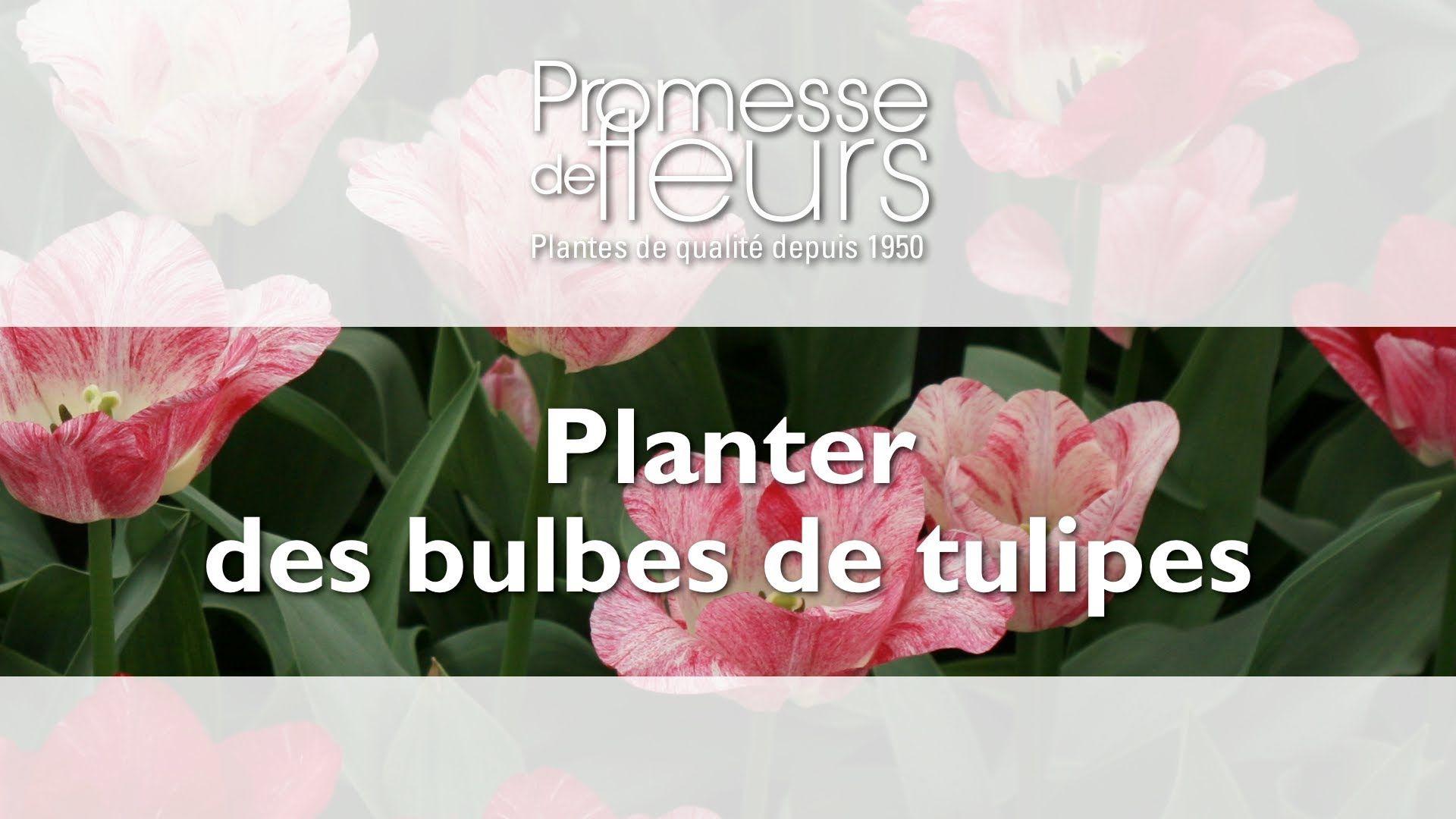 Comment planter des bulbes de tulipes ? Planter des