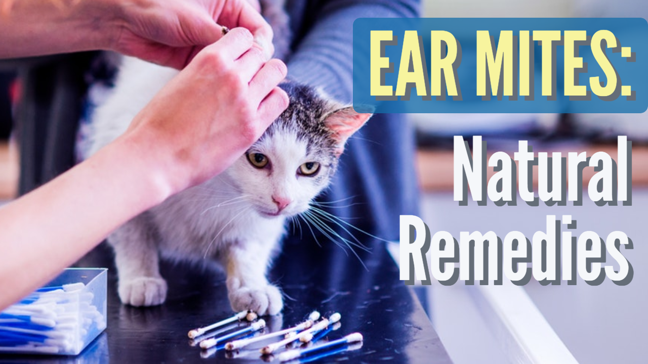 6 Inexpensive Ear Mite Home Remedies Dr. Jones The