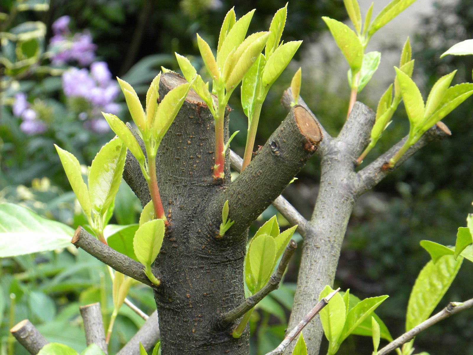 Gartenplanung Hamburg lorbeerkirschen können radikal beschnitten werden sie treiben