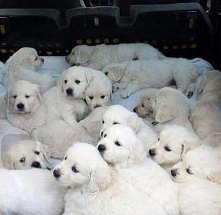 White labrador puppies for sale ohio