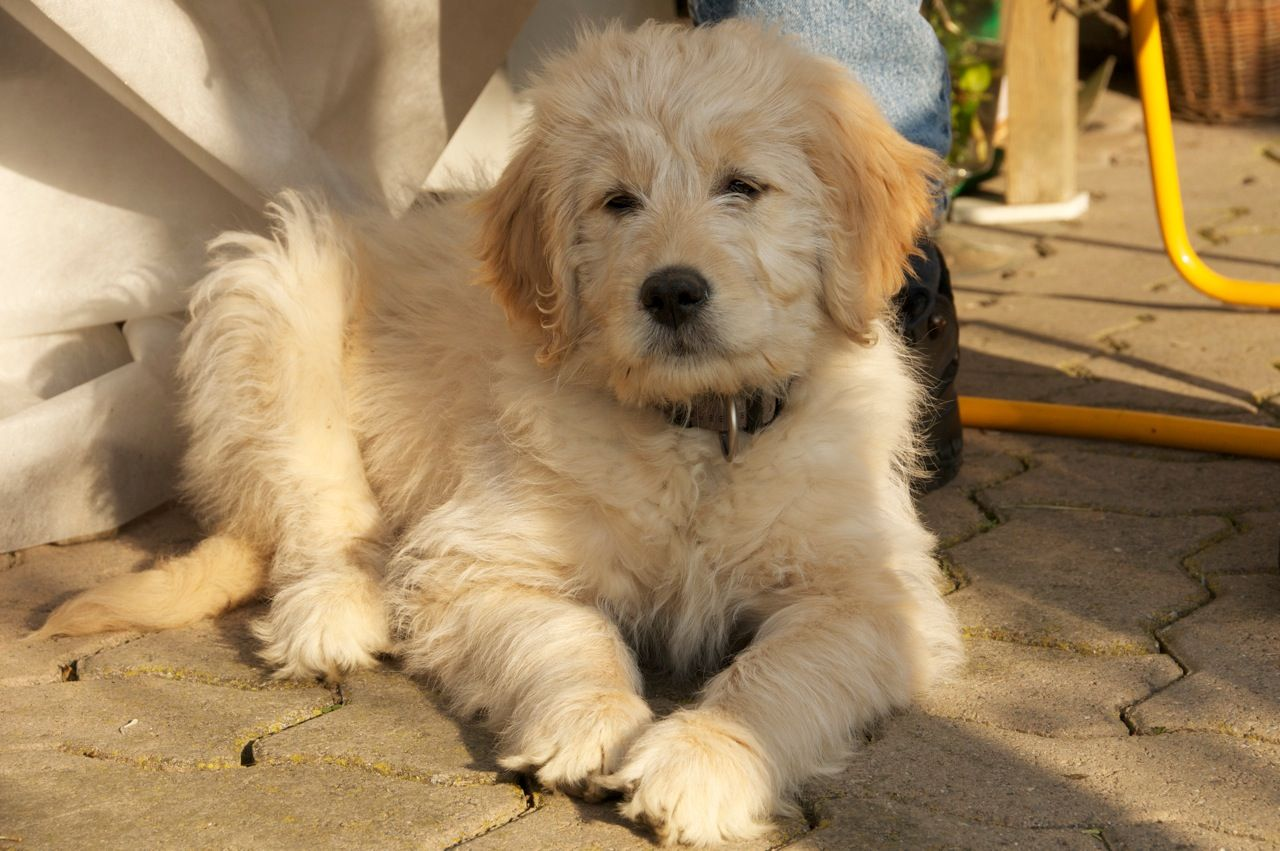 Goldendoodle, a Golden Retriever Poodle Mix SpockTheDog
