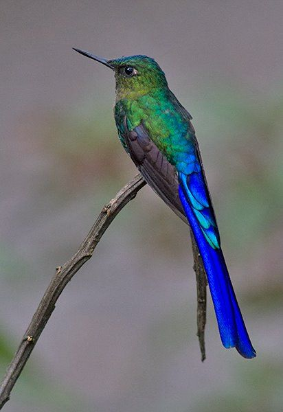Male Violet-tailed Sylph (Aglaiocercus coelestis)