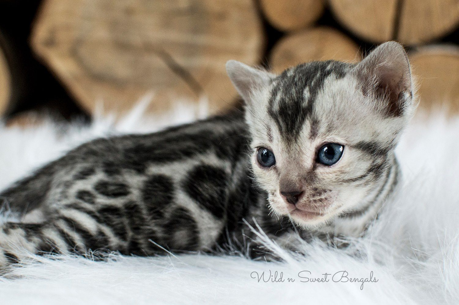 This Is An Incredible True Story About Our Little Silver Bengal Kitten Calvin Learn More About Him On Our Instagra Bengal Kitten Cats And Kittens Bengal Cat