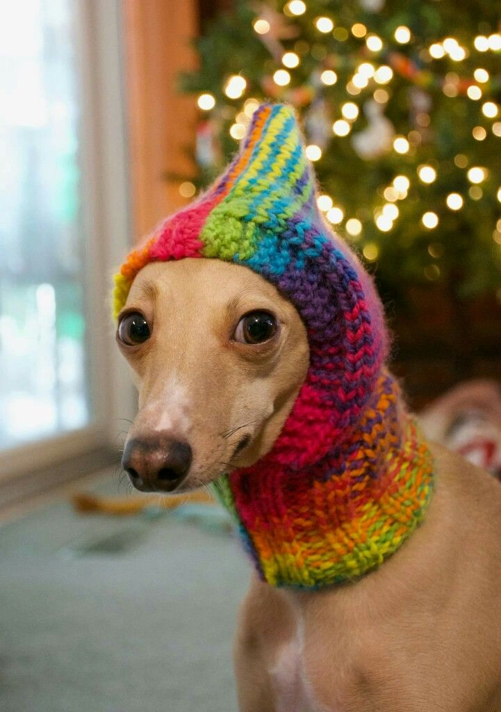 Really Mom?! | Dogs | Pinterest | Italienisches windspiel ...