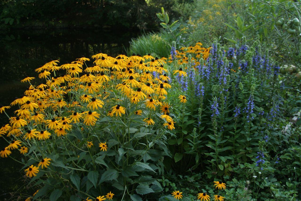 New England Natural Habitat Gardening. Rudbeckia And Blue Lobelia