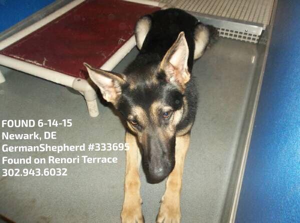 Founddog 6 14 15 Newark De Germanshepherd 333695 Found On