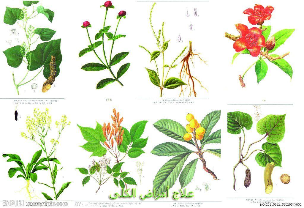 العلاج الطبيعي لإصلاح الكلى في مرحلة رابعة Plant Leaves Plants Traditional Chinese Medicine