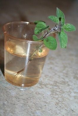 how to grow thyme in water