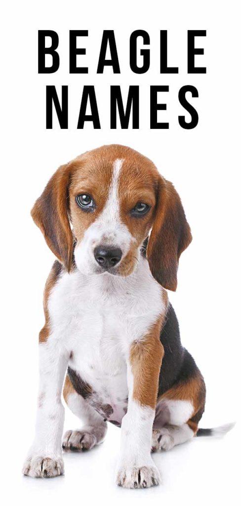Beagle Names 300 Ideas For Beautiful Beagles In 2020 Beagle Names Puppy Names Dog Names