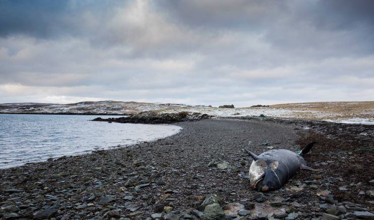 Dead orca to remain in Shetland