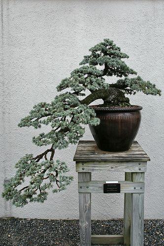 Blue Atlas Cedar (Cedrus atlantica) 'Glauca' | Flickr: partage de photos!