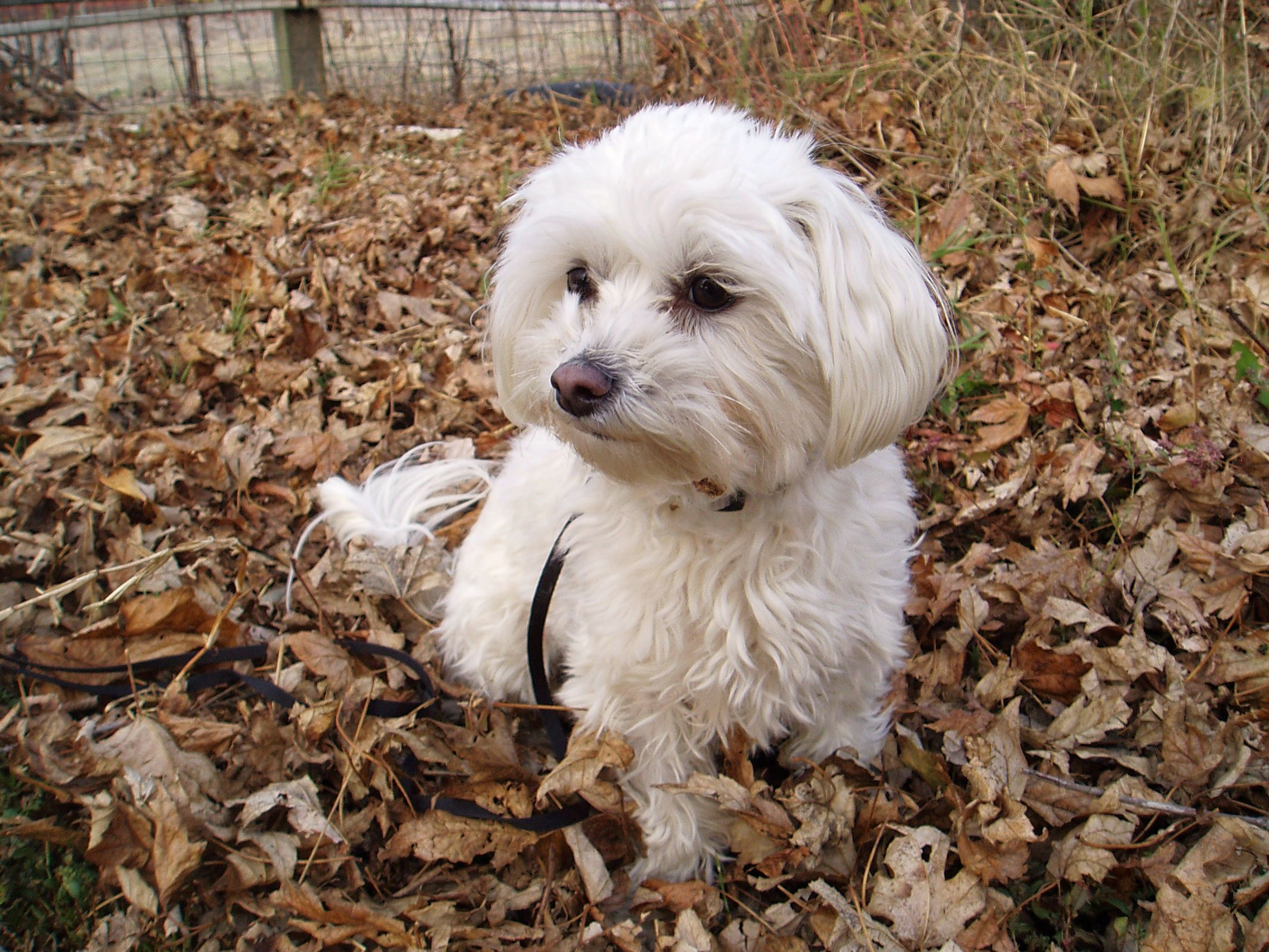 maltese rescue northern california my name is chip and i am a rescue dog i live on a little 6000
