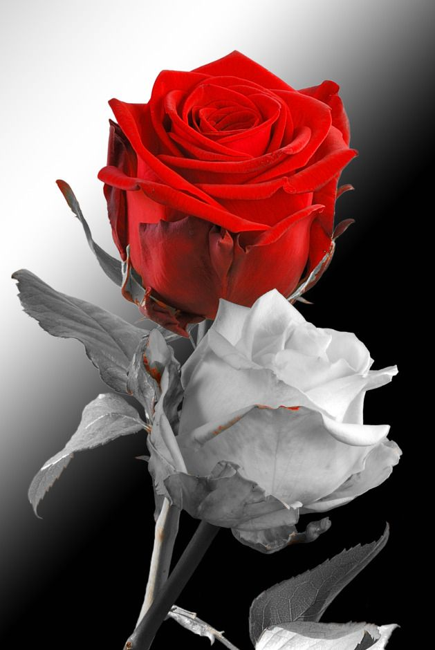 Red Rose With White Rose Lovely Flowers Red Roses Painting The