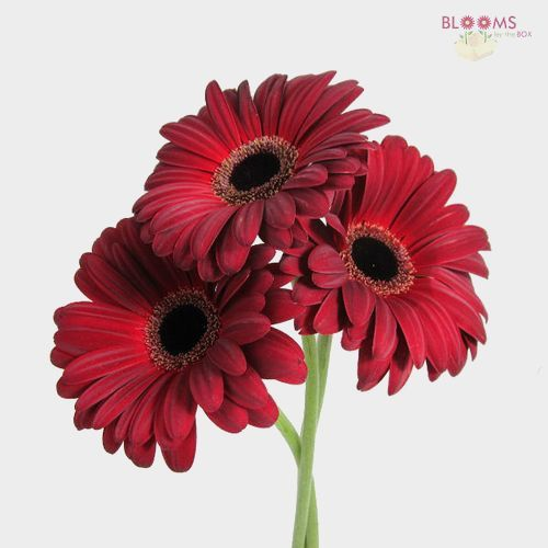 Gerbera Daisy Burgundy - Wholesale - Blooms By The Box
