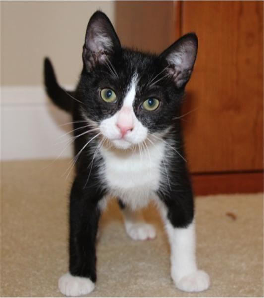 Freddie The Kitten Is Available For Adoption At Petco Saratoga Go