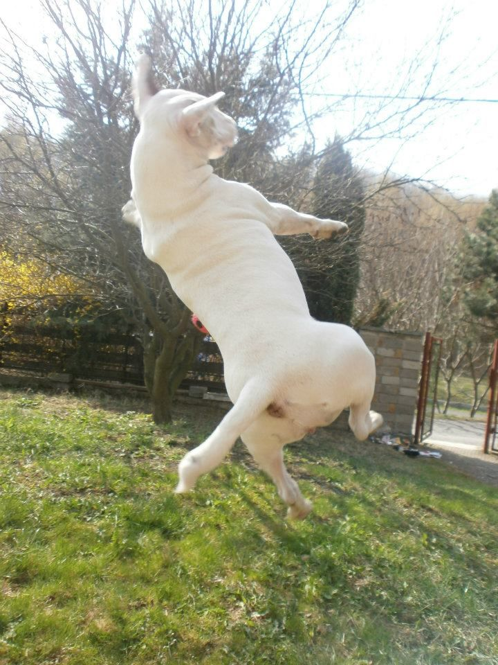 Resultado de imagen para bull terrier jumping