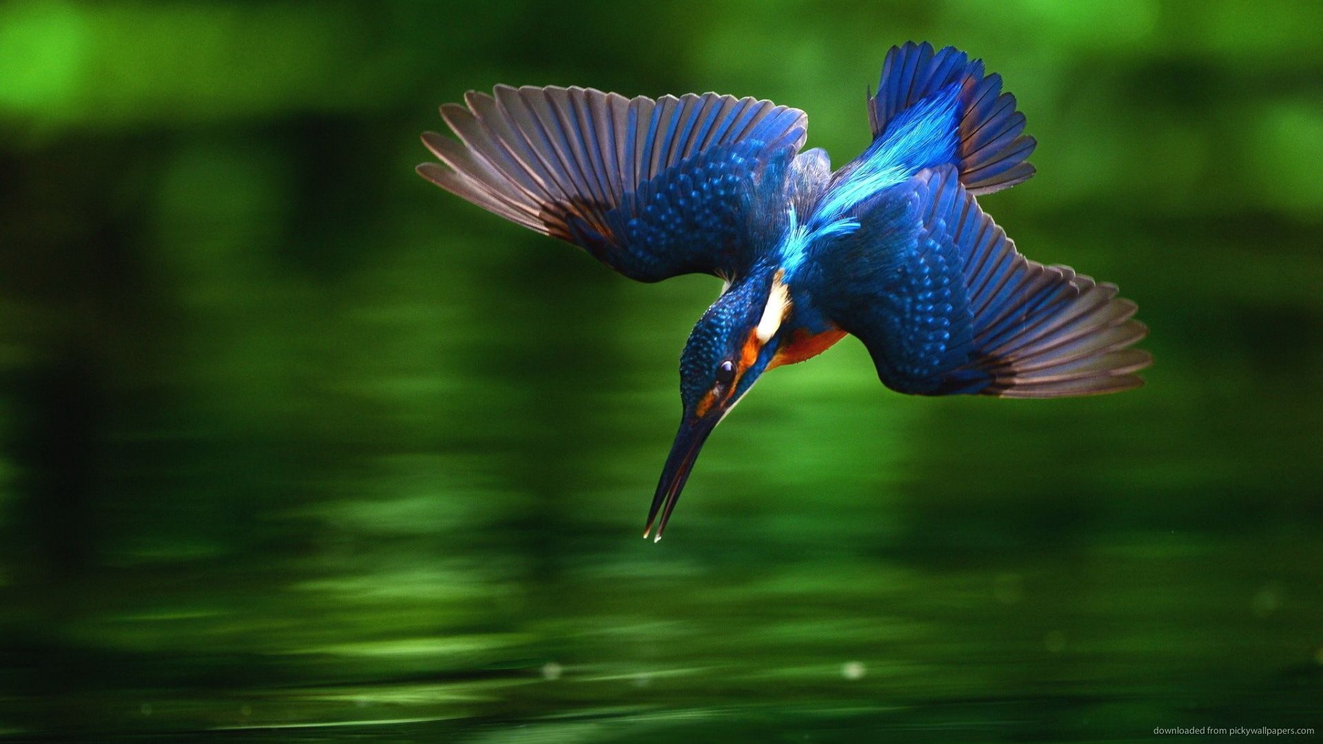 Kingfisher Bird Diving Into Water Wallpaper Picture
