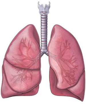 Lung Anatomyjpg 300 & 215361 Science Pinterest