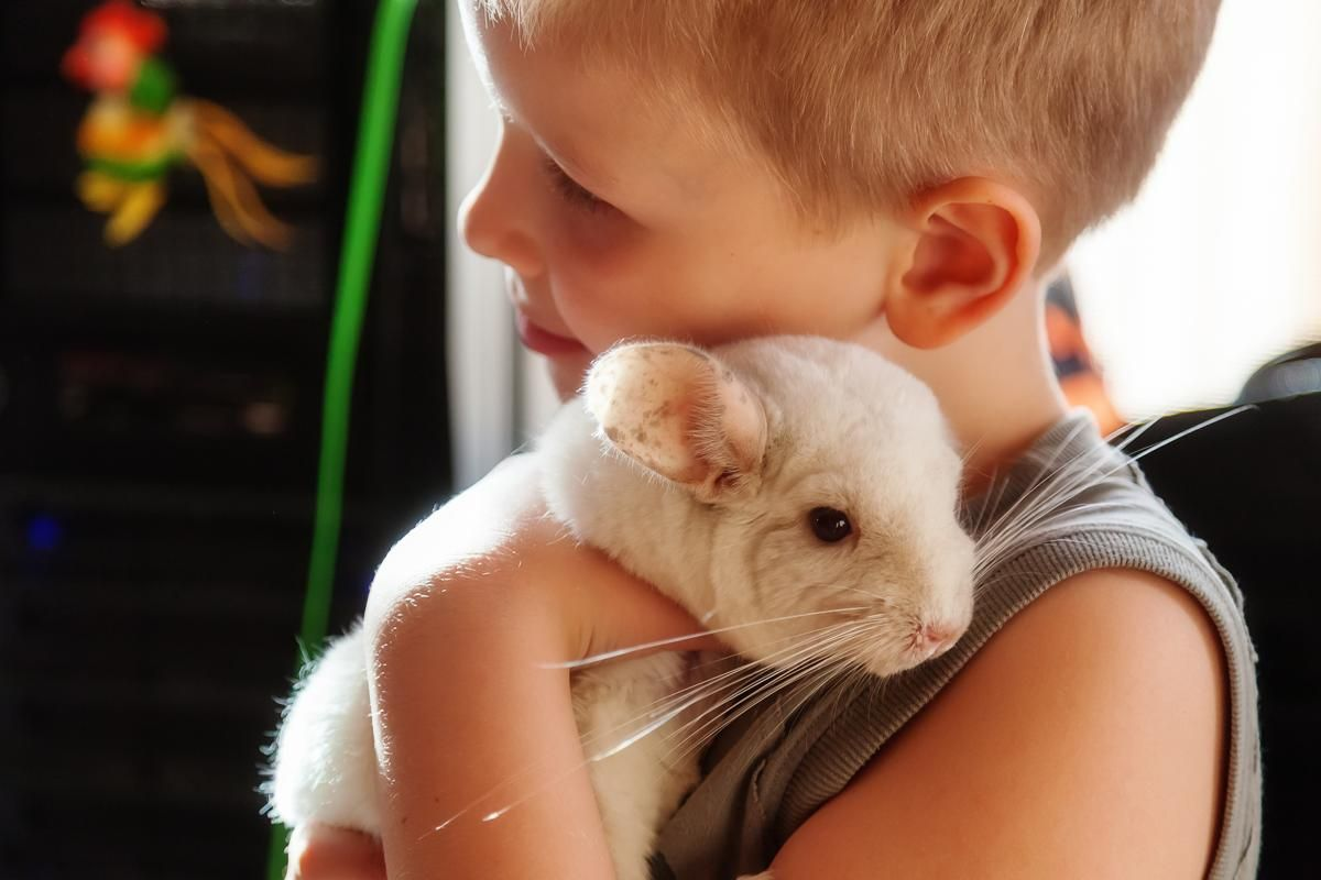 Chinchillas as pets low maintenance pets pets animals