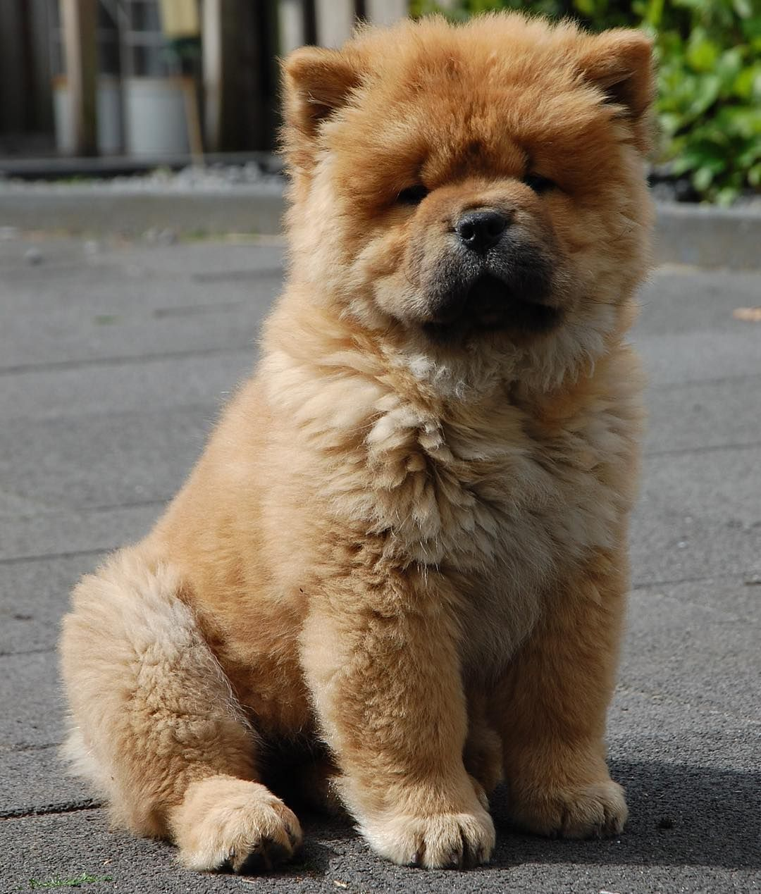 Throw Back To When Moos Was A Little Chow Chow Puppy Tbt