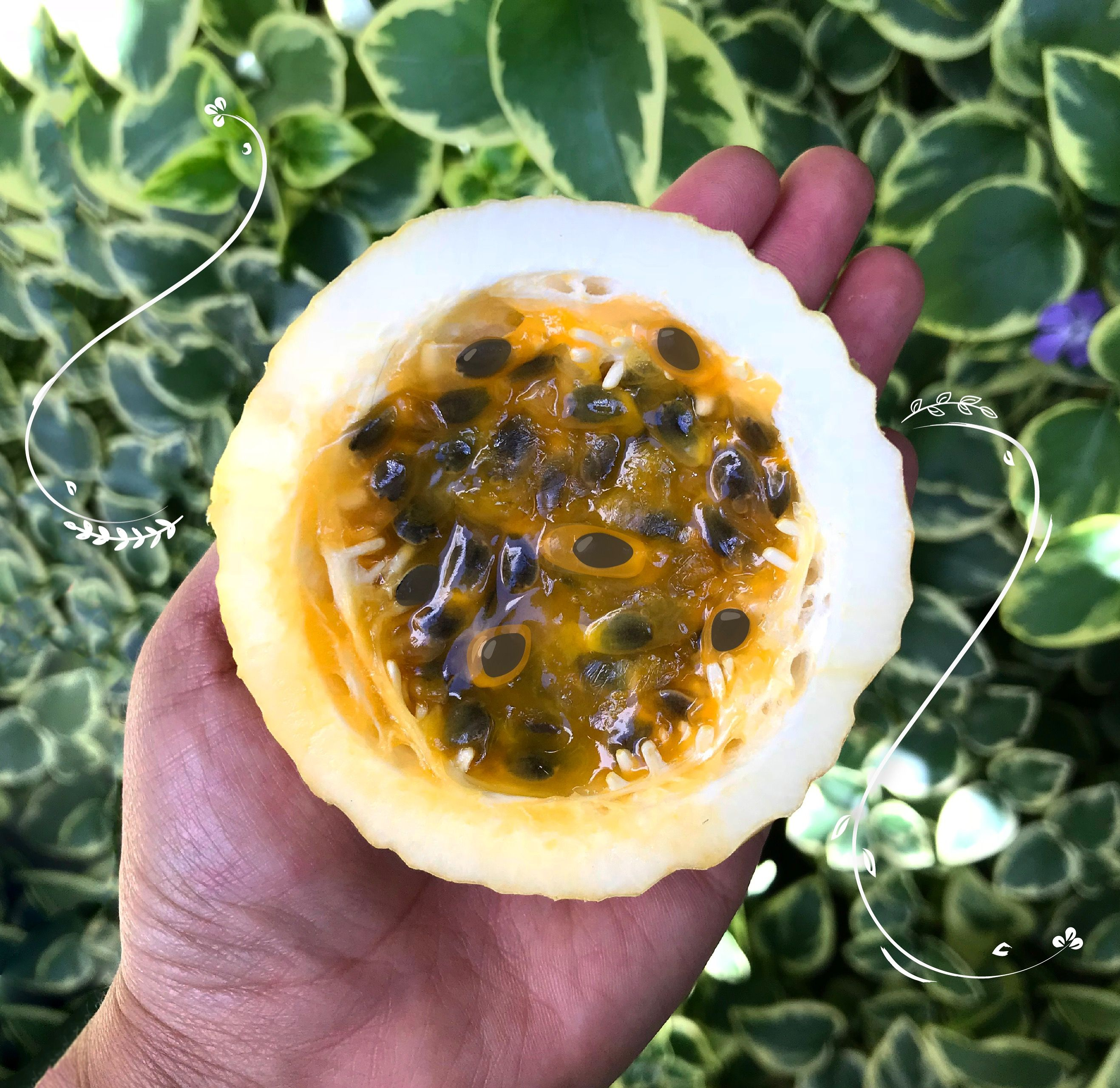 PASSION FRUIT FACTS🧡 The name of passion fruit is due to