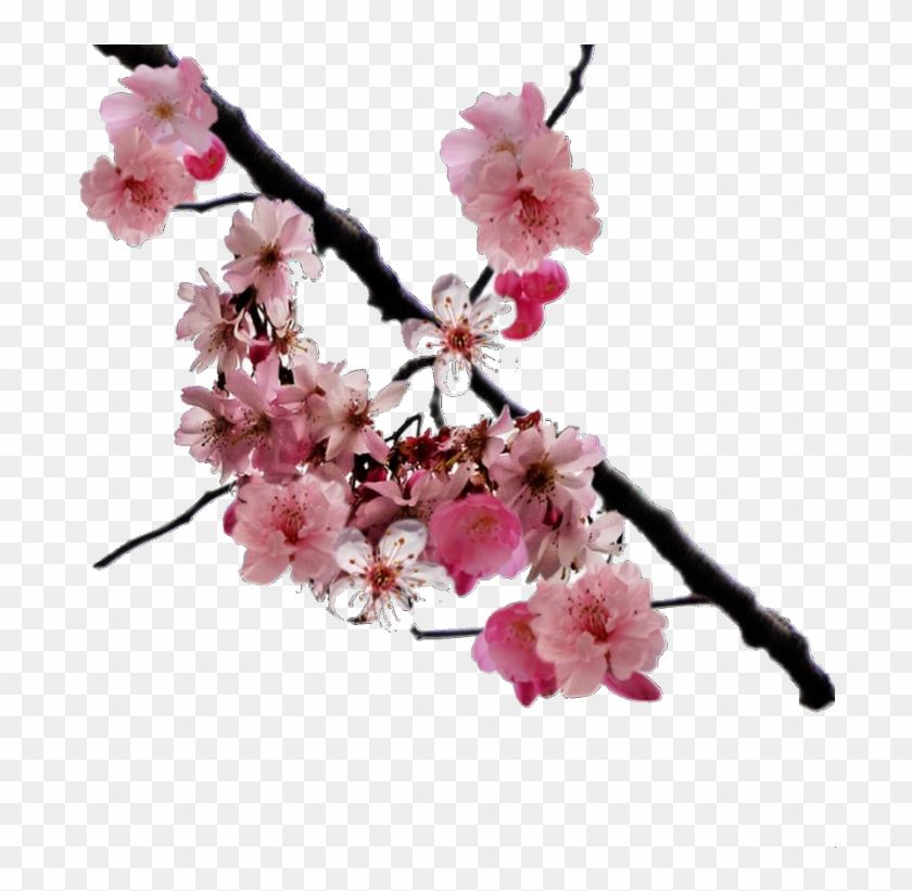 Cherry Blossom Branch Png Transparent Png 750x740 4755758 Cherry Blossom Branch Cherry Blossom Blossom