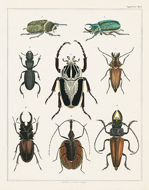 Beetles. Oken Natural History Butterfly & Insect Prints | Entomology ...