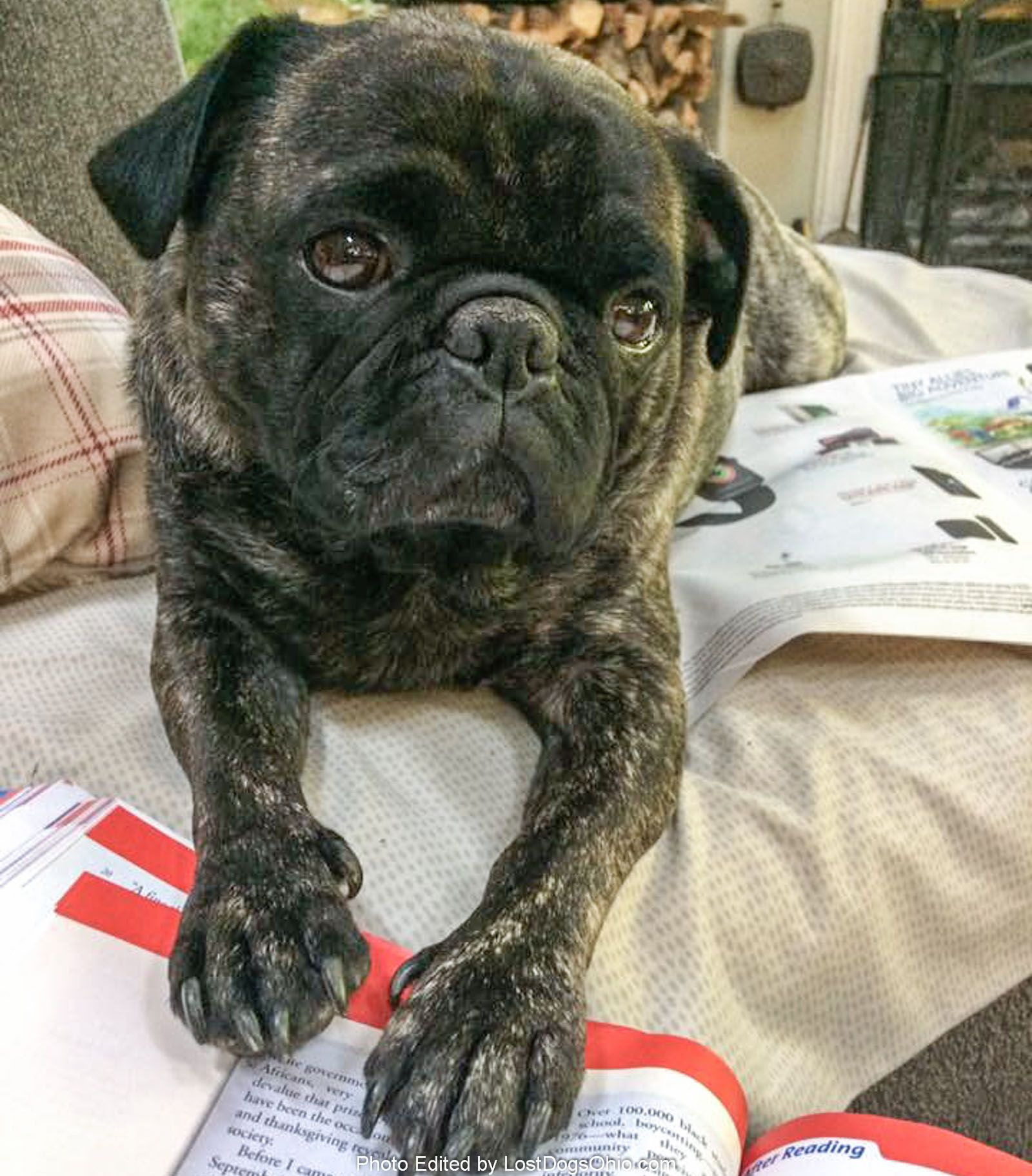 Lost Dog Male Glouster, OH, USA 45732 Baby pugs