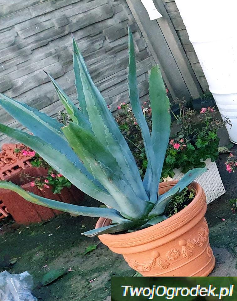 Piekna Agawa Plants
