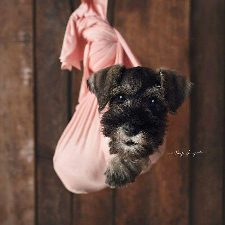 Newborn Puppy Photography Mini Schnauzer Puppy Photoshoot Dog