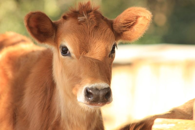 Jersey calf animals images cow photography jersey cow