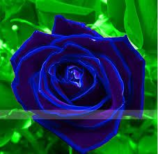 Risultati immagini per rose  di colore nero
