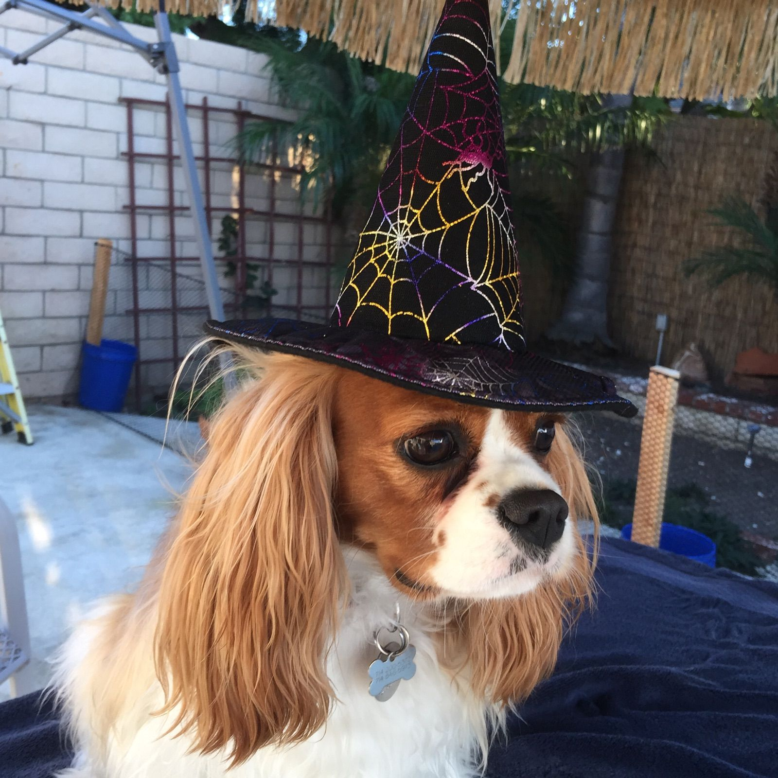 Halloween Witch King Charles Charles Spaniel Cavalier King Charles Spaniel