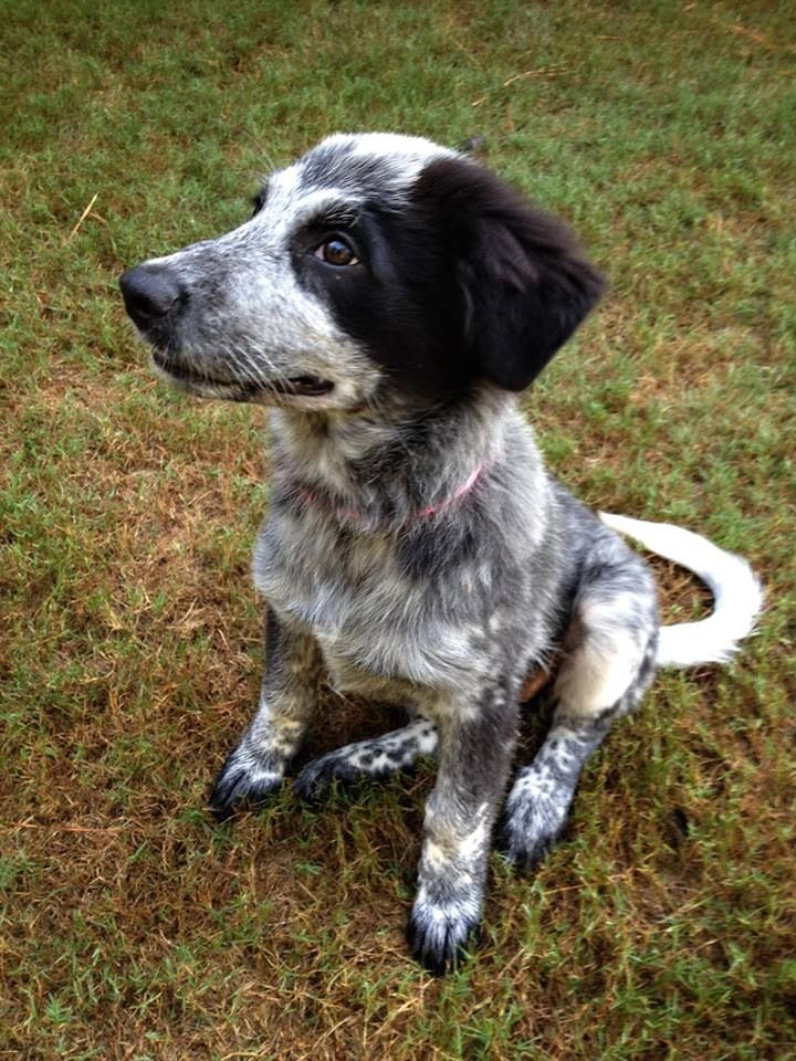 Pin By Devin Nutter On Great Pyrenees Australian Cattle Dog Mix