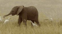"""PROTECT ALL WILDLIFE on Twitter: """"An #Elephant calf gets very excited when it meets some #Egrets! @rickygervais https://t.co/MUs1St83Kq"""""""