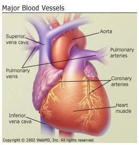 Major blood vessels nurse 3 pinterest blood vessels and major blood vessels sciox Image collections