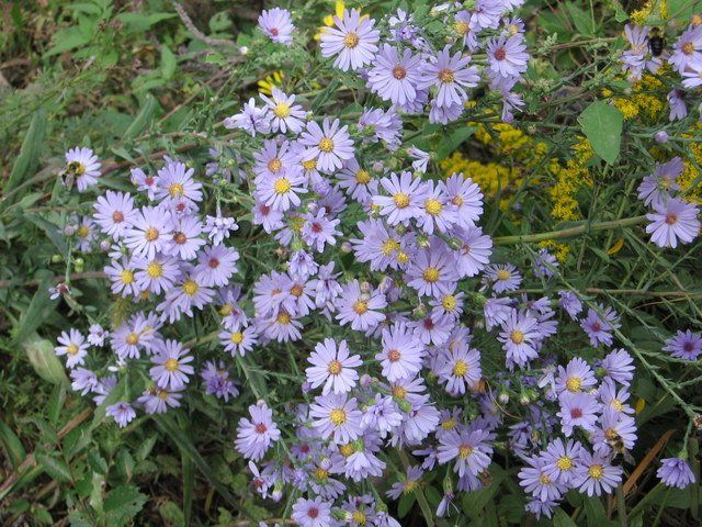 Fall Flowering Smooth Blue Aster Aster Laevis Plants Fall Flowers Flowers