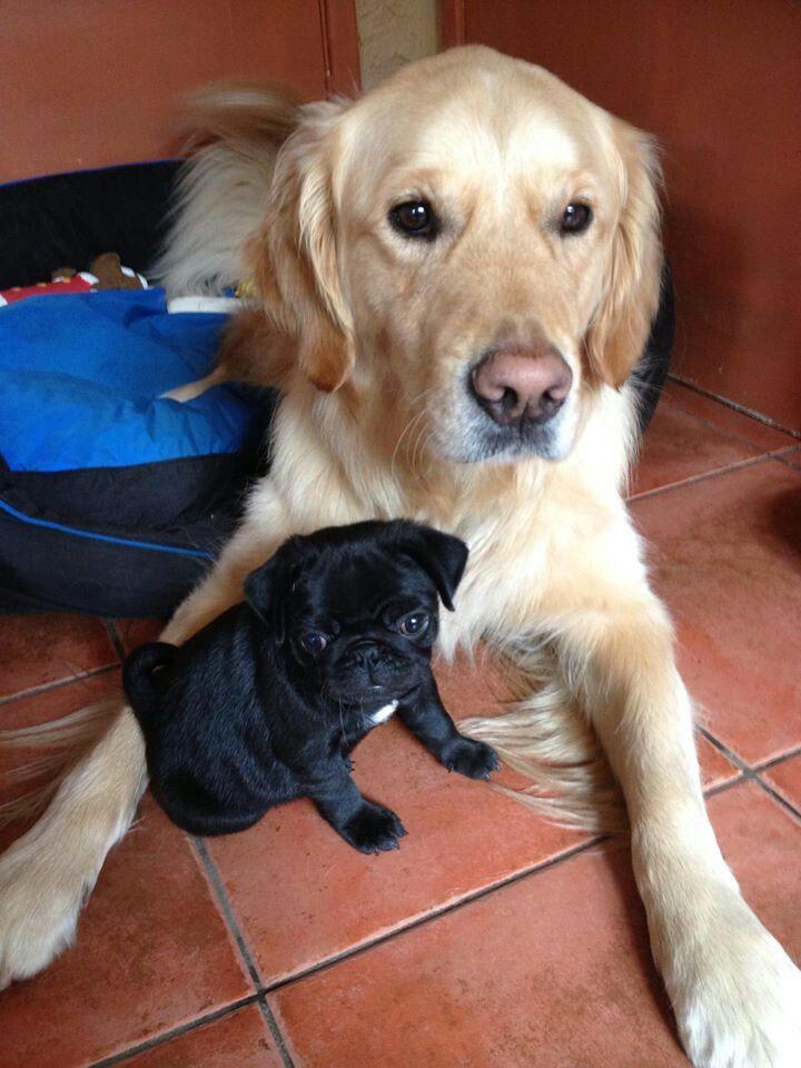 Golden Retreiver Brian And Pug Frank